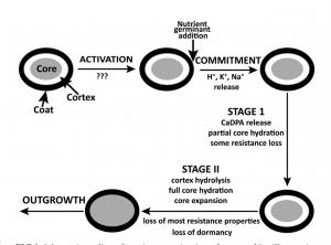 perkecambahan endospora bakteri