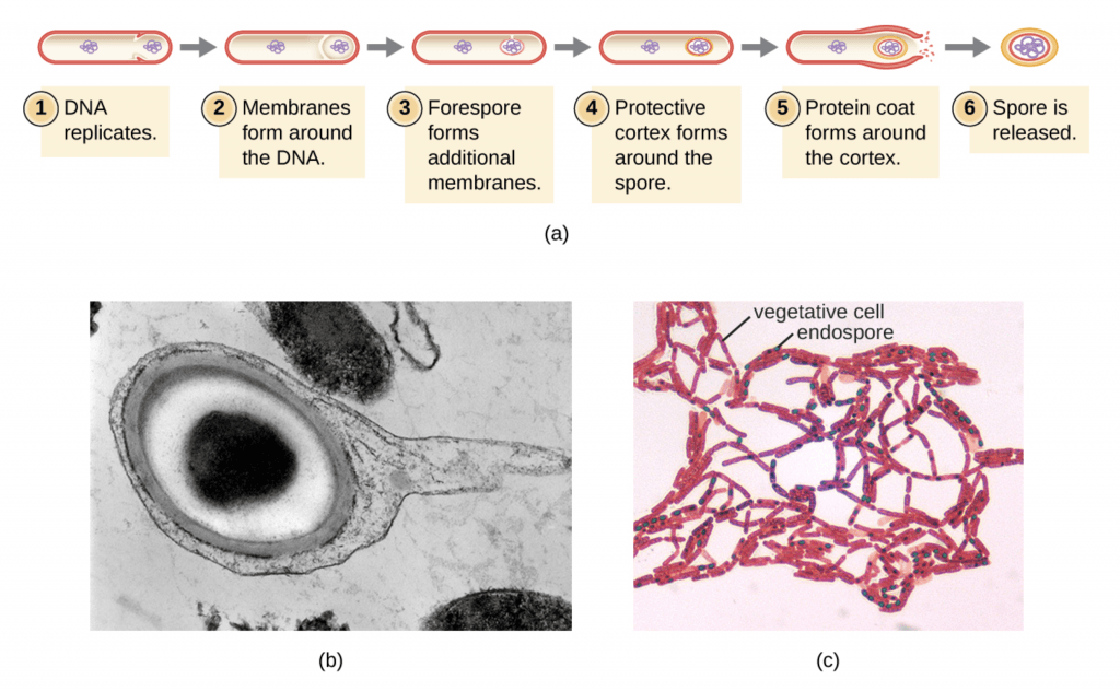 endospora bakteri