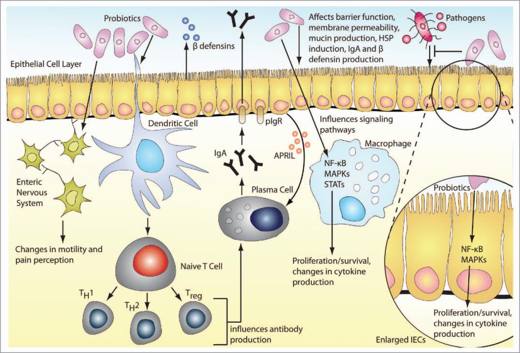cara kerja bakteri probiotik
