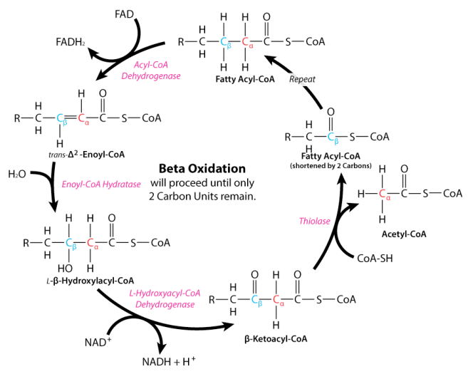 reaksi betaoksidasi