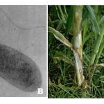 peranan mikroorganisme di bidang pertanian