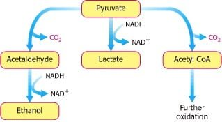 asam piruvat hasil glikolisis