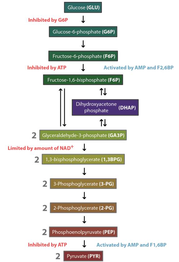 regulasi pada glikolisis