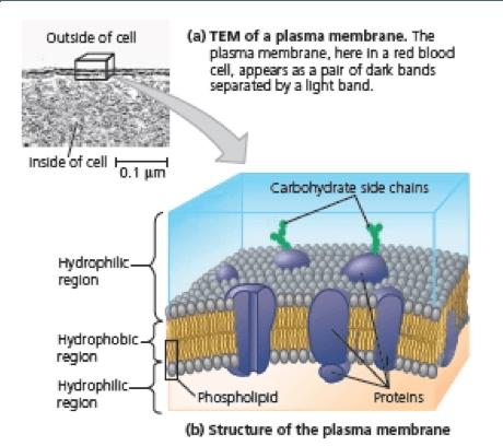membran sel bakteri